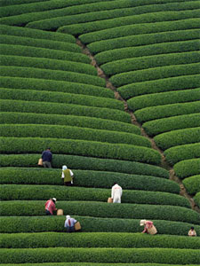 Indian Tea Field