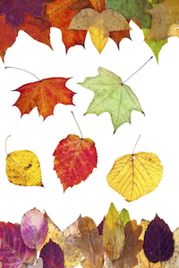 Autumn leaves are wonderfully diverse in shape and color.