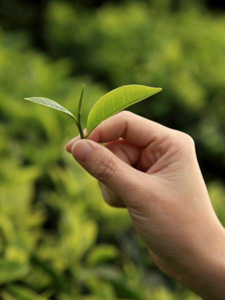 Picking the perfect tea leaf