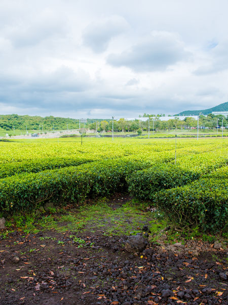 Tea fields on Jeju Island, South Korea