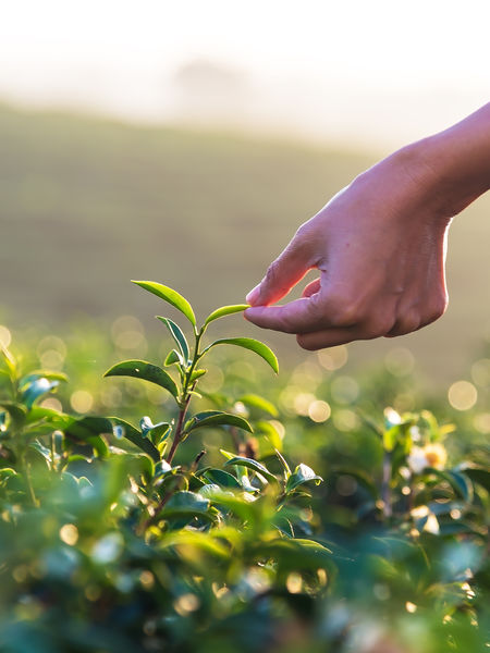 Any tea from the true tea plant, Camellia sinensis, will have caffeine, since the fresh leaves contain approximately 4% of the compound, mostly derived from theobromine.