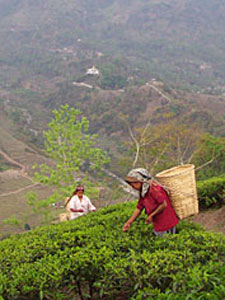 The Origins of Indian Tea