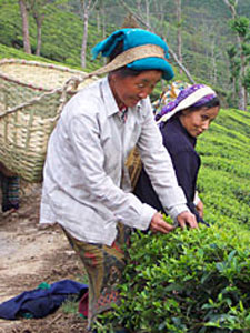 Great Tea: An Endangered Species